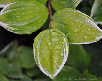 Nature photography, Rain Drops on leaf, green and black wall art, 8x10 photograph