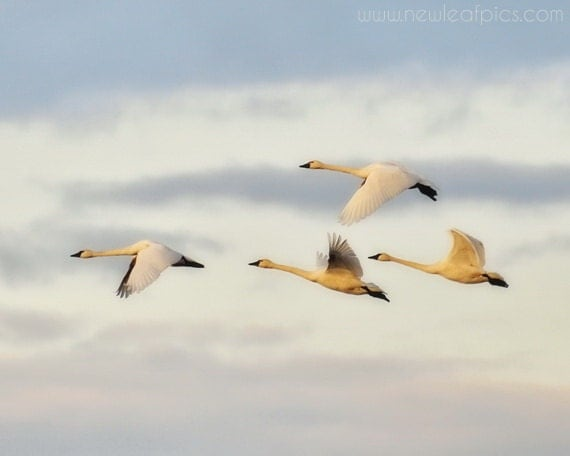 Nature Photography, Bird Print, Swans in Flight, blue and white nursery art, home decor, 8x10 fine art print