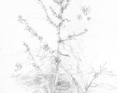 Wild Things Dionisio Point - plant drawing in pencil