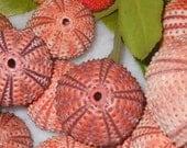 6pcs red-orange sea urchins, free shipping