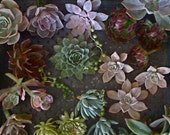 BRIDAL PACKAGE 3 - Succulent Wedding, Wholesale, Suculent Centerpieces, Succulent Bouquets, Wedding Favors