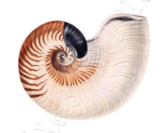 SEASHELL Instant Download Nautilus Digital downloads large digital image, brown pink illustration 134
