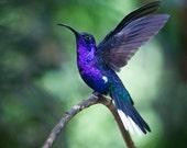 Hummingbird--The Hummers No.8
