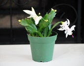 Live Rare White Christmas Cactus Plant - Zygocactus - Free Shipping - Nice Gift
