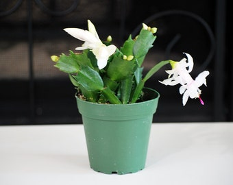 White Christmas Cactus - 4'' Pot
