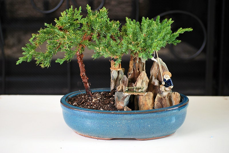 Live Zen Juniper Bonsai Tree - Free Shipping - Nice Gift