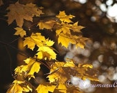 Golden Leaves, Yellow Autumn Forest, Gold Sycamore, Fine Art Photography, 12x7.88""