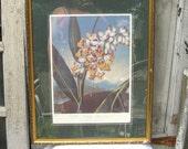 Botanical picture, vintage flower picture, Large botanical print, The Nodding Renealmial, framed, matted