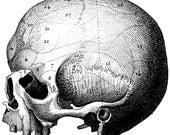Human skull, Medical cabinet, Wall chart, 36
