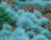 Blue Fescue Grass, 200 seeds, Perennial, Fill in Spots for some color