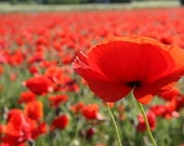 Red Corn Poppy, Reseeds Itself Every Year, Container Plant or Garden, 50 Seeds