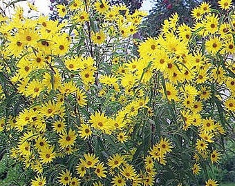 Sunflower Seeds Maximillian Flower, Tons of Blooms on One Plant, Perennial, 20 Seeds