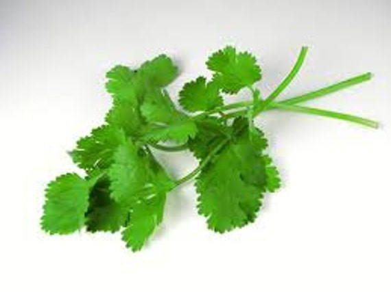 Cilantro Cooking Herb, Perennial, Farm Grown, 20 Seeds