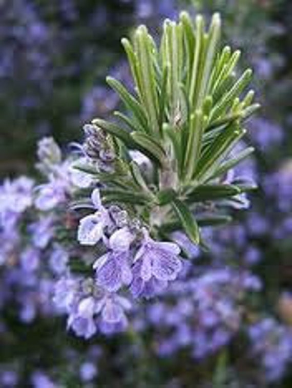 Rosemary Cooking Herb, 10 Seeds, Great for Meat and Soups