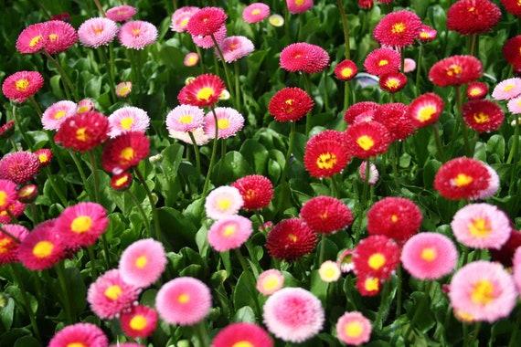 Daisy Seeds English Mix Perennial Flower Cottage Garden