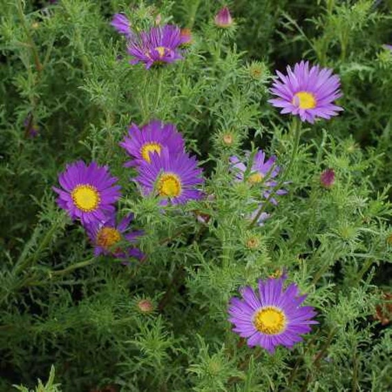 Purple Daisy Flower: Prairie Aster Purple Daisy Like Flowers 25 Seeds