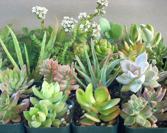 Succulent Plants 12 Live Potted Collection