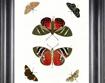BUTTERFLY PRINT CRAMER  Botanical Art Print 3 Beautiful Antique Red Ikarus Butterflies Summer Nature Natural Science Home Decor