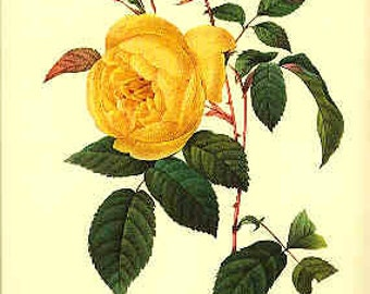 Redoute Botanical Print -  - Rosa Indica- 122