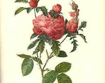 Redoute Botanical Rose Print  56