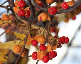 Orange and red berries, autumn, vines, fall photography, White Cottage Photo