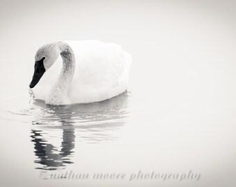 Tundra Swan (B&W)