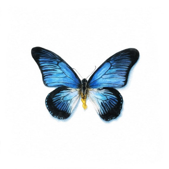 Butterfly  - Original Watercolor -  GICLEE PRINT - Giant Blue Swallowtail (Papilio zalmoxis Blue)