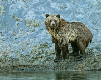 Grizzly Shore--Grizzly bear, Yellowstone National Park, Wyoming, wildlife, photography, fine art
