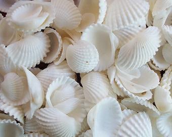 "White Ark Clam Seashells - (appx. 50 pcs.) - (.5"" - 1"") - Andara Granosa"