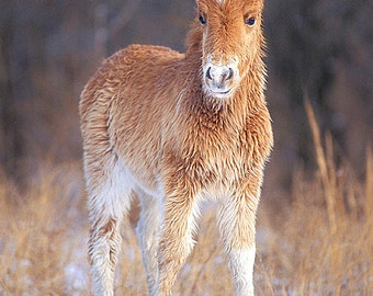 Wild Horse 5x7 Matted Photograph, Baby Animal Photography, Chincoteague Pony Assateague Island, Nursery Kids Wall Art Decor
