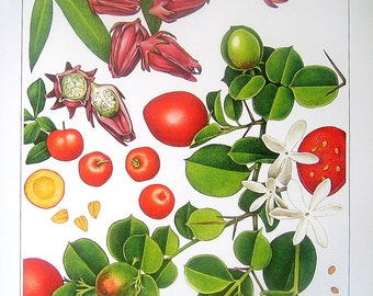 Barbados Cherry, Roselle, Natal Plums Exotic Fruit Print Vintage Cookbook Color Book Page Plate 1991