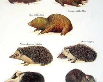 Cape Golden Mole, Western European Hedgehog, Mindanao Moonrat, Desert hedgehog, etc. Vintage 1984 Animal Book Plate