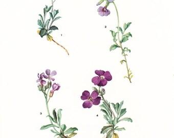 1926 Botany Print - Aubrietia Deltoidea - Vintage Antique Flower Art Illustration Book Plate for Framing