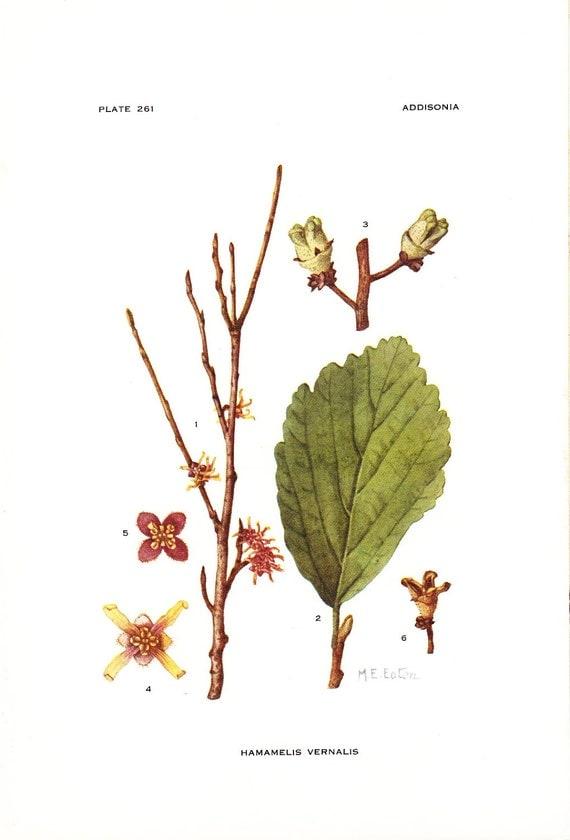 1923 Botany Print - Hamamelis Vernalis - Vernal Witchhazel - Vintage Antique Flower Art Illustration Book Plate for Framing