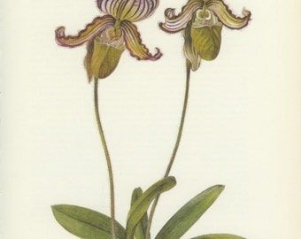 Lady Slipper Orchid, Pink Orchid Print, Vintage Flower Print, Himalayas, Botanical Nat. History, Blossom, Flower Art, 1970/105