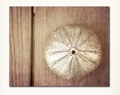 "Still Life Photograph ""Sea Urchin"" photography affordable fine art print silver brown wall art home decor nature for her"