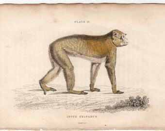1833 monkey antique print engraving -  the barbary ape