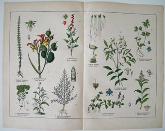 1887 Antique fine  BOTANICAL lithograph of a natural history of the plant kingdom PL1, 125 years old nice largue print