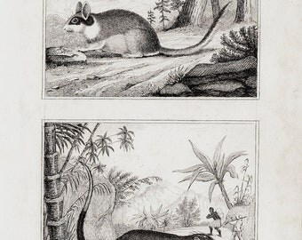 1835 antique DORMOUSE  print, engraving by Buffon and Cuvier, 177 years old nice print