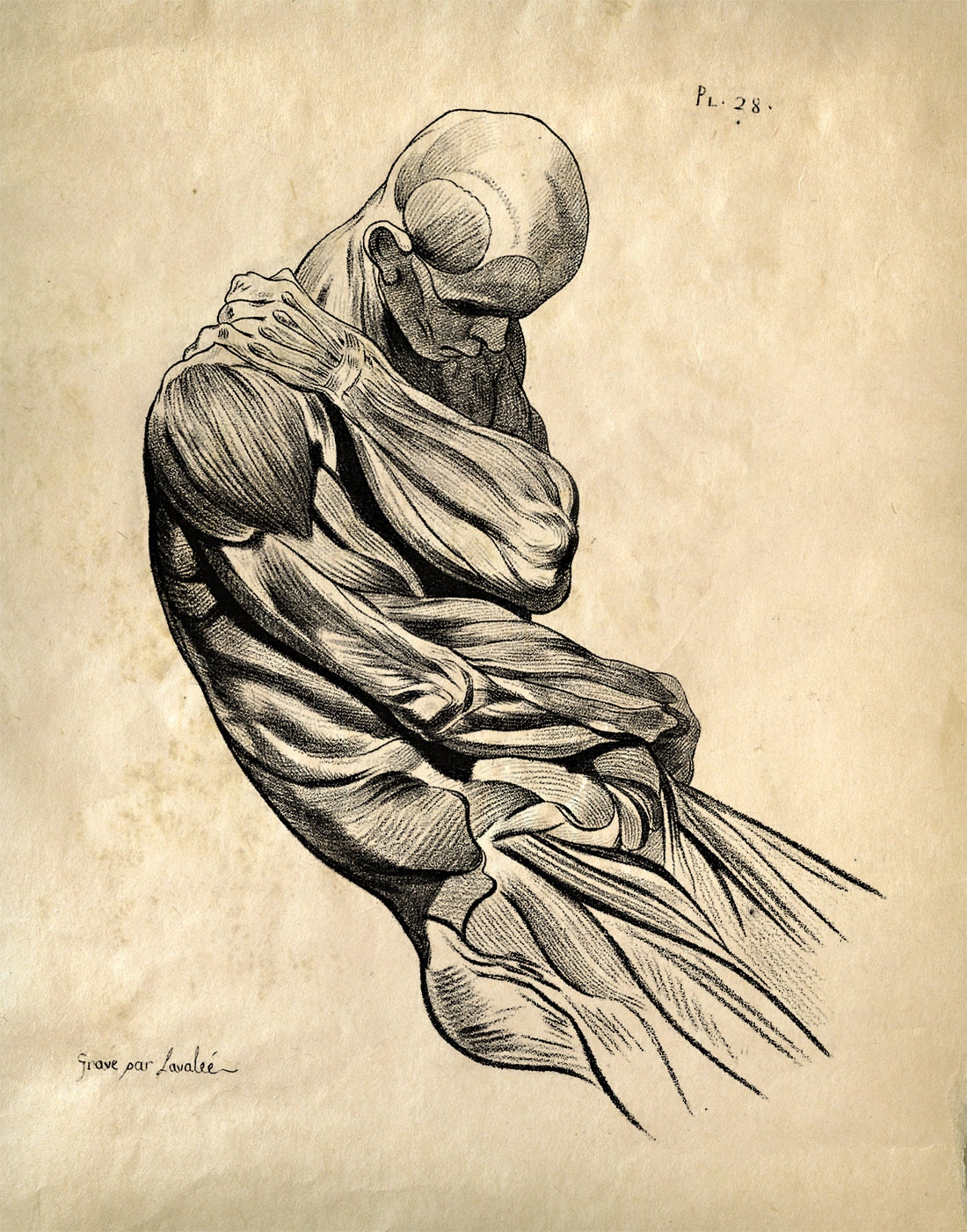 Human Anatomy / Medicine - Curious Prints