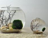 Marimo Terrarium - Japanese Moss Ball Aquarium - Fishbowl Glass Vase - Giant Marimo - Home Decor - Green Gift