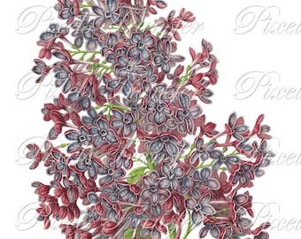 LILAC Instant Download Image Transfer, botanical illustration, digital downloads purple flower clipart 193