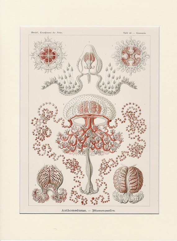 1900 Antique Haeckel Jellyfish Lithograph Print - Original Lithograph - First Edition - Rare Ocean Nature Print - Luxury Wall Decor Art