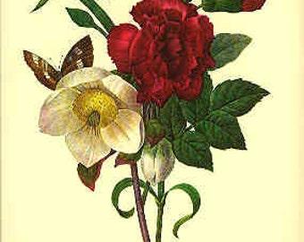 Redoute Botanical Print - Ellebore - 35