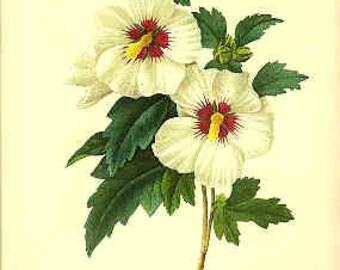 Redoute Botanical Print -  - Hibiscus - 54