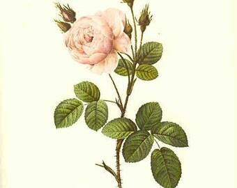 Redoute Botanical Rose Print  21