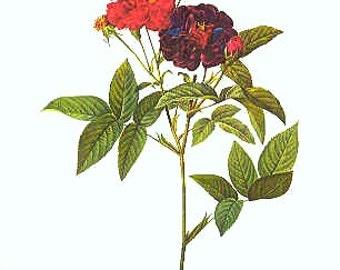 Redoute Botanical Rose Print  26