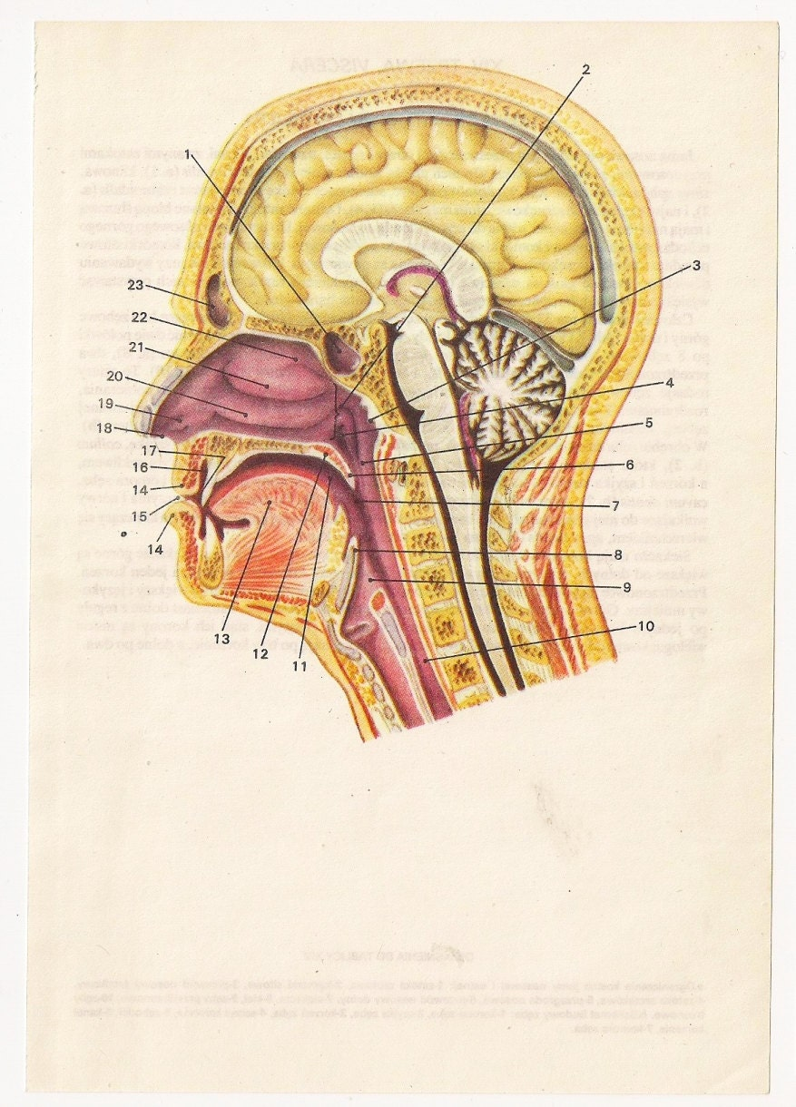 2 Vintage Anatomical Prints Medical Diagrams Skull Skeleton
