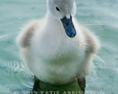 Cute Baby Swan in Blue Tones Nature Photograph - 4x6 metallic print of fluffy young swan wading in Lake Eola
