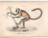 1833 MONKEY ENGRAVING original antique primate print -  entellus
